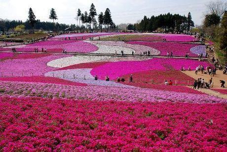 羊山公園の芝桜の丘