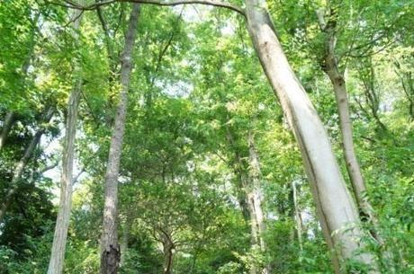 キャンプ場の周辺の松やシラカバの木