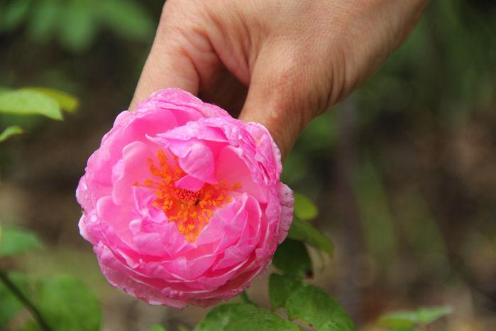 千葉県の「バラの学校」のバラの花摘み体験