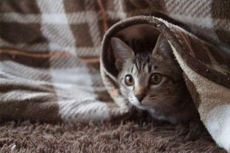 コタツで暖まる猫