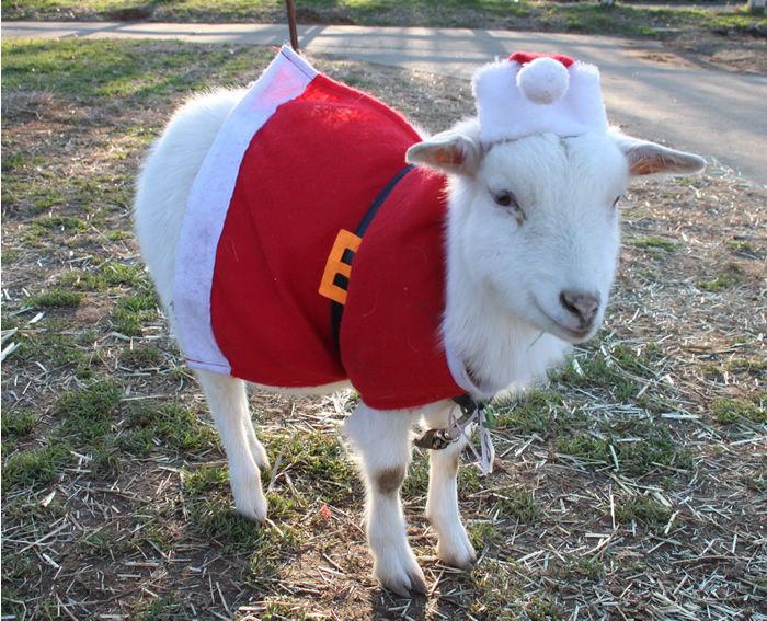 成田ゆめ牧場二いるサンタの仮装をしたヤギ