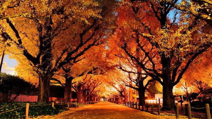 紅葉した表参道のケヤキ並木