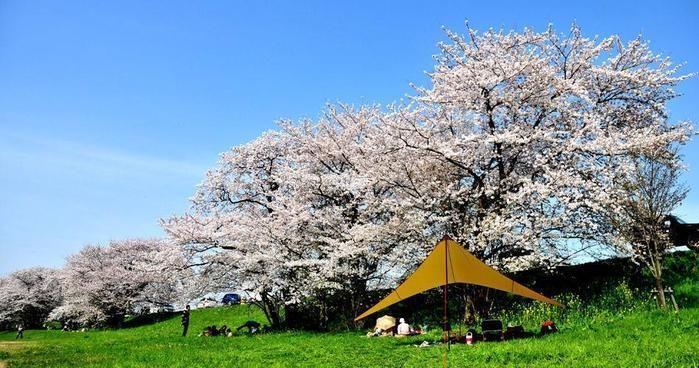 桜の木の下でのキャンプ