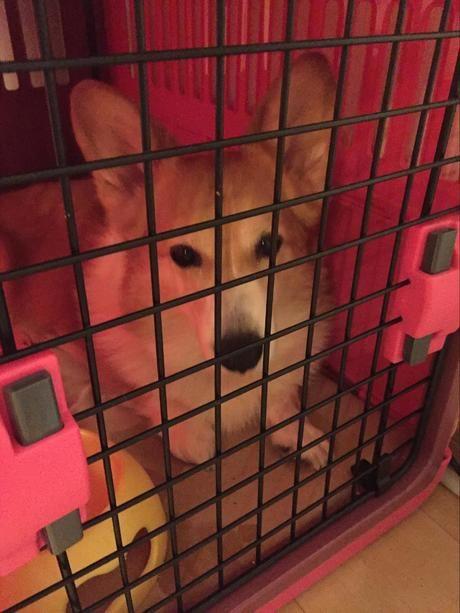キャリーケージの中の犬