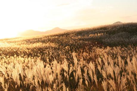 曽爾高原の夕日を浴びるススキ