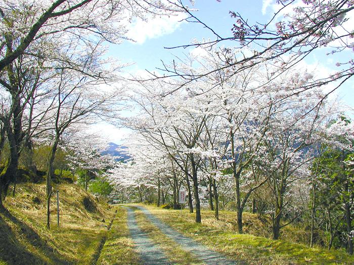 立雲峡の桜並木