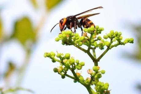 草にとまるスズメバチ