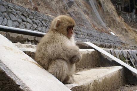 人里に下りてくる猿
