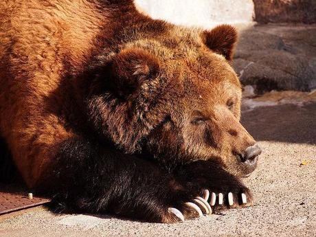 眠っているクマ