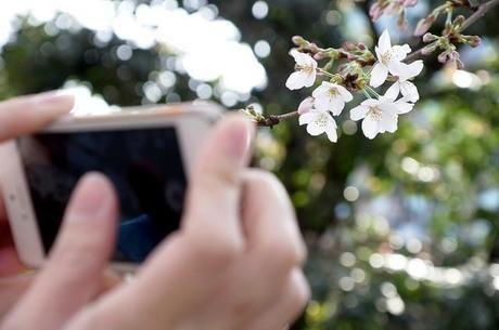 スマホで桜の花を撮る様子