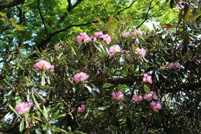天城山の天城シャクナゲコースに咲くアマギシャクナゲの花