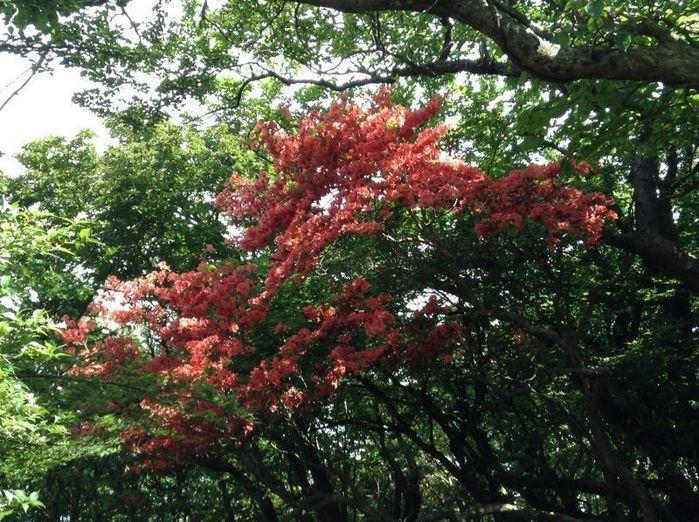 紅葉した天城山の木