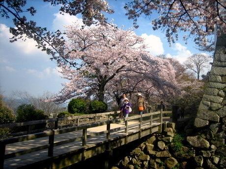 彦根城の堀と桜