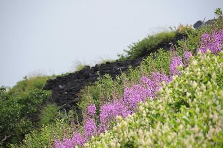 新潟県、平ヶ岳の高山植物