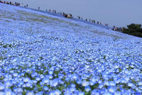 国営ひたち海浜公園のブルーのネモフィラ畑