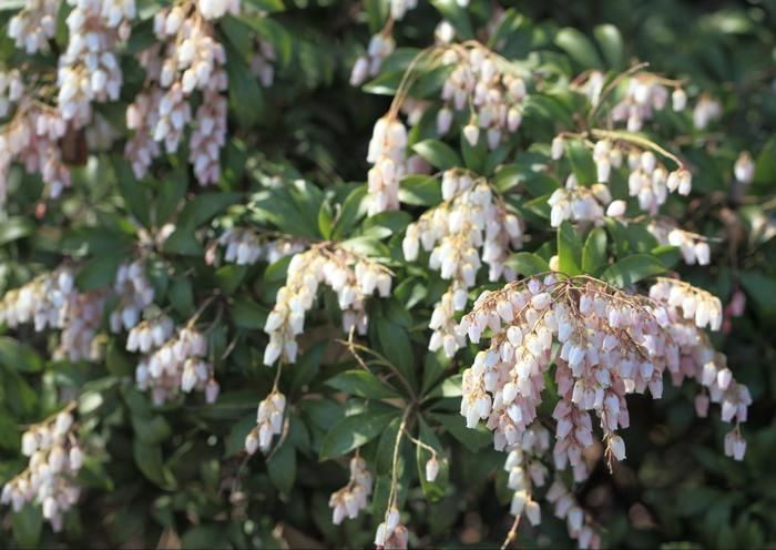 天城山に咲いている植物