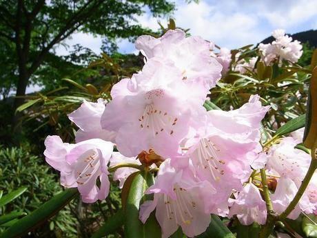 天城山に咲いているピンク色の花