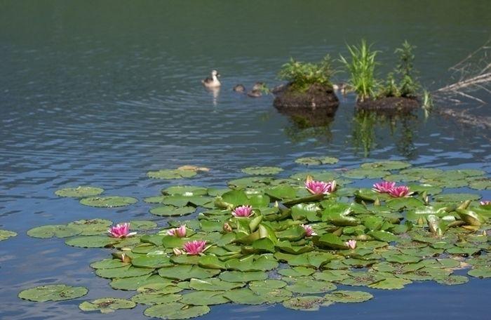池に浮いた蓮