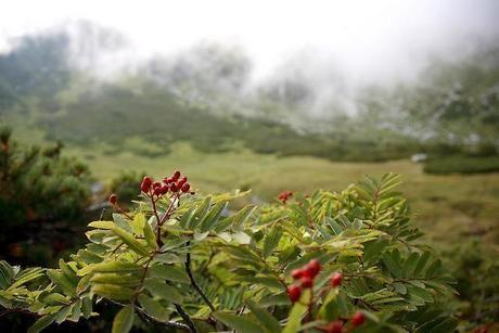 乗鞍岳の高山植物