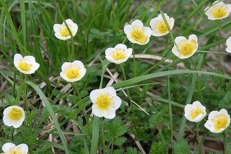 乗鞍岳に咲く花