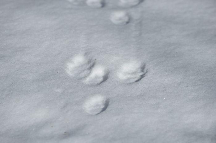 深雪地帯の動物の足跡