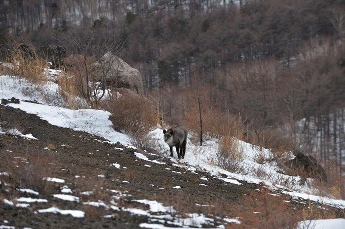 ニホンカモシカが山の中腹にいる様子