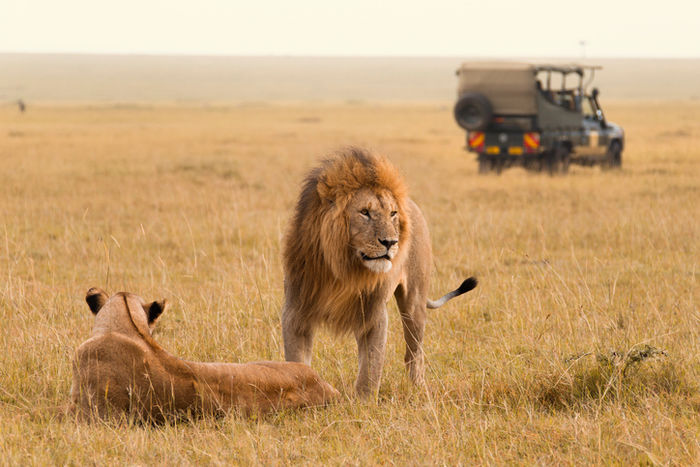 サバンナの大草原の中にいるライオン