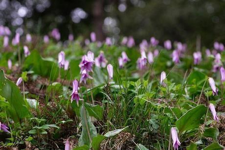 御泉水自然園の高山植物