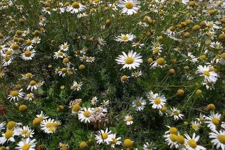 美ヶ原に咲く花