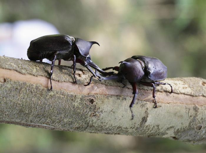 木にとまる2匹のカブトムシ