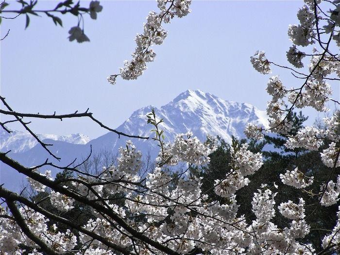 桜風景から見た甲斐駒ヶ岳