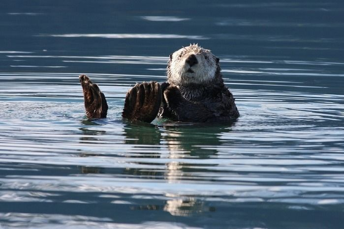 海を泳ぐラッコ