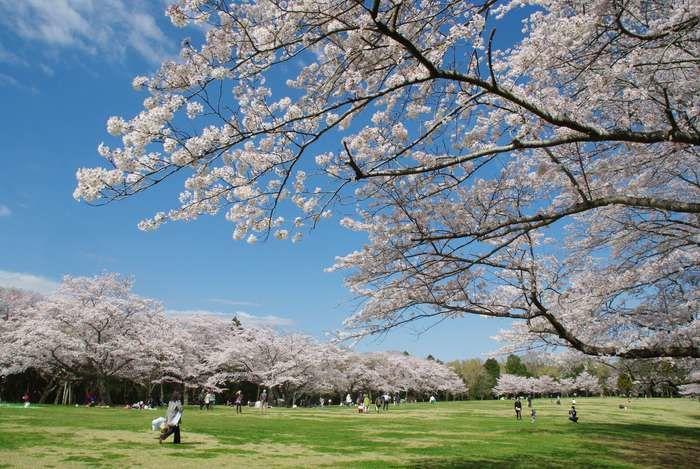 咲き誇る桜並木の元でお花見を楽しむ人々