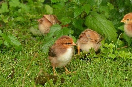 草に隠れている鳥のひな