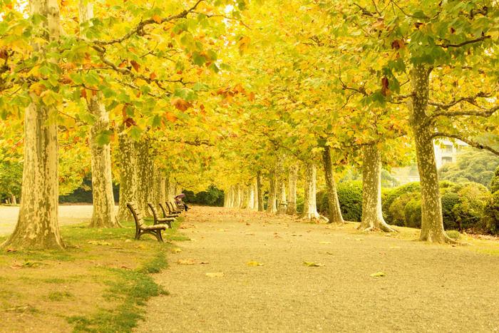 新宿御苑の銀杏並木