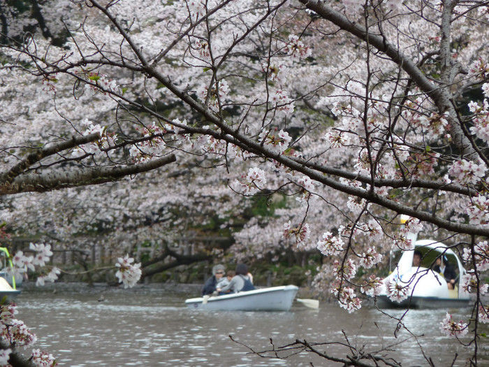 井の頭公園の桜と池