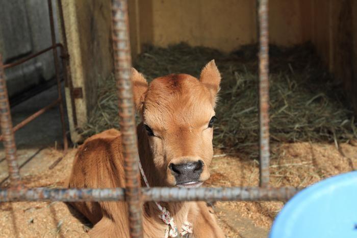 神津牧場で生まれた牛の赤ちゃん