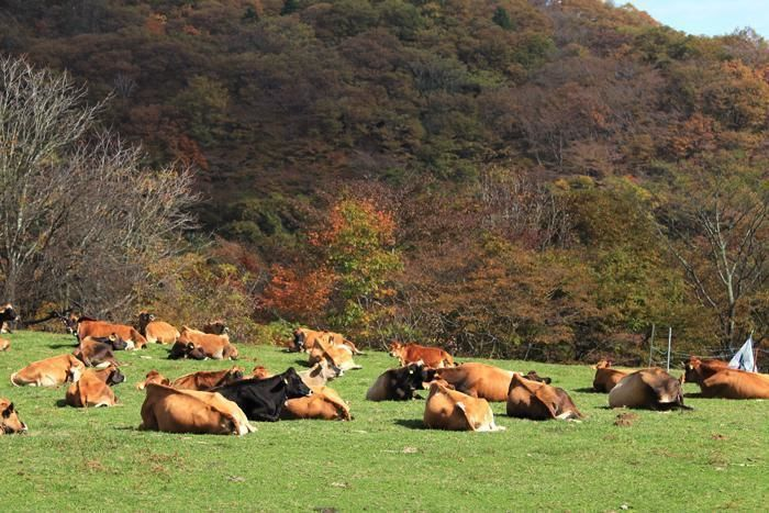 神津牧場の牛たち