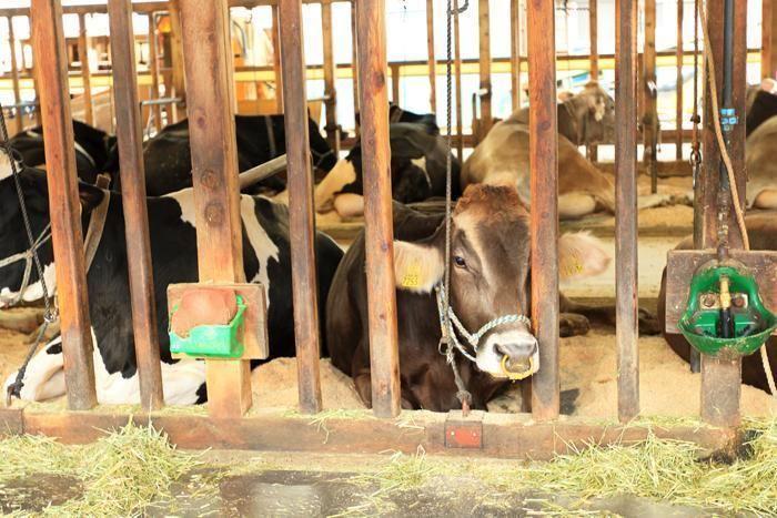 いでぼくの牛たち