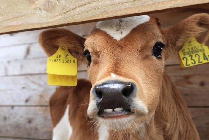 可愛い子牛