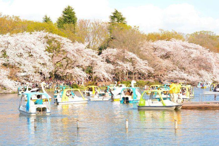桜に囲まれた井の頭公園の池とボート