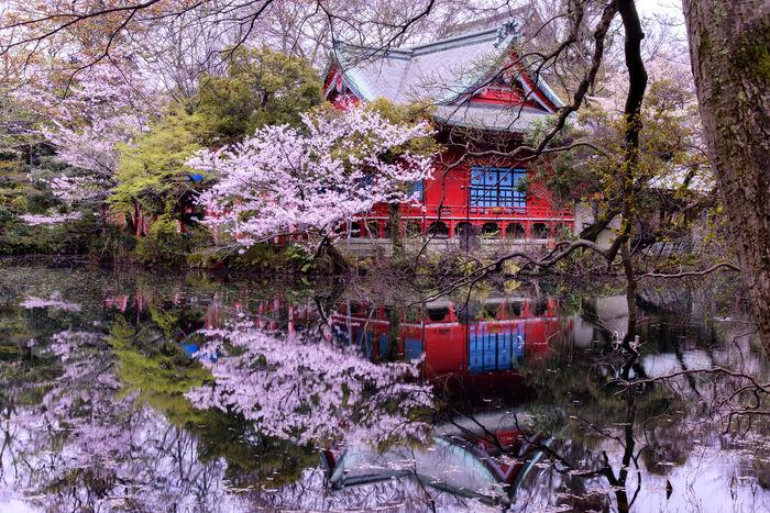 桜が咲く井の頭公園