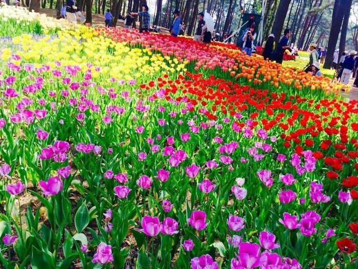 ひたち海浜公園のカラフルな花畑