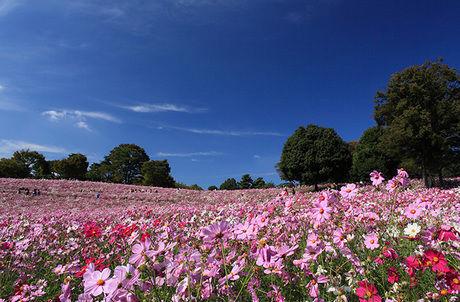 国営昭和記念公園の広大な花畑