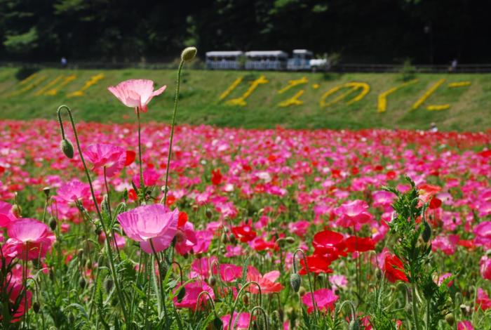 くりはま花の国の色鮮やかな花畑