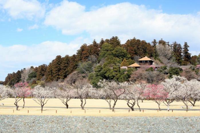偕楽園の日本庭園と梅の木