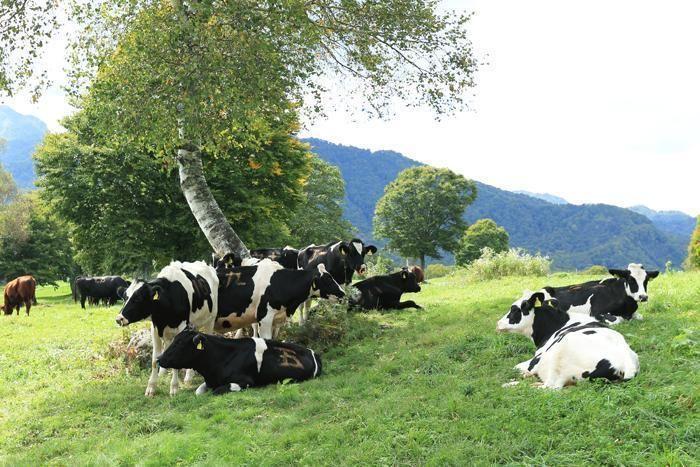 芝生で戯れるたくさんの牛たち