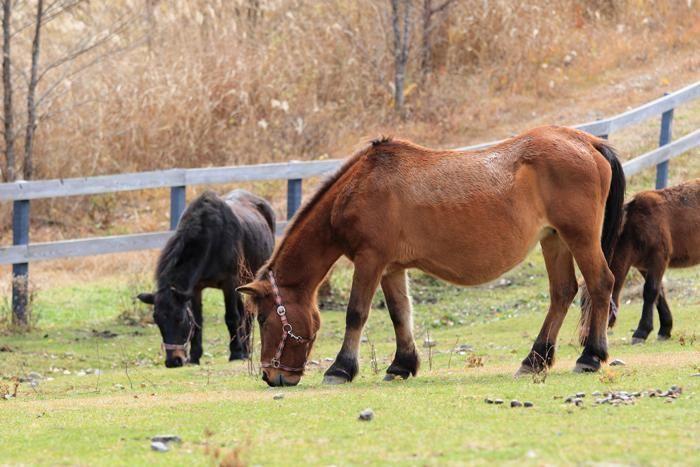 木曽馬の里の木曽馬