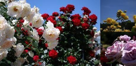 神代植物公園の様々なバラ