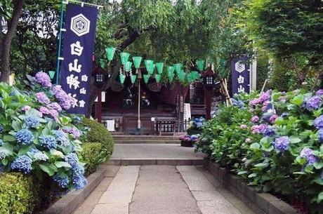 白山神社・白山公園の紫陽花